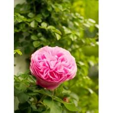 Роза королева Виктория