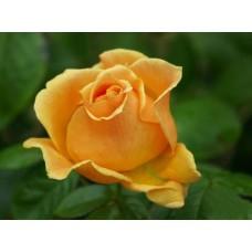 Роза Виски