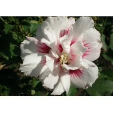 Гибискус Сирийский Махровый (пересорт, цвета: белый, розовый, фиолетовый)