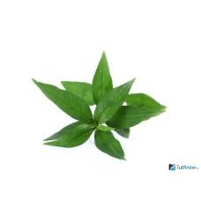 Персикария Вьетнамский кориандр (С1,2)