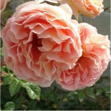 Роза Персиковое Чудо
