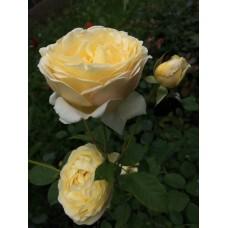 Роза Восход солнца
