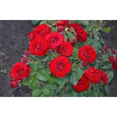 Спрей роза Торнадо