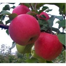 Саженцы яблони (29)
