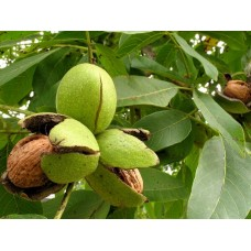 Саженцы ореха Грецкого (7)