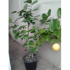 Саженец  Лимона