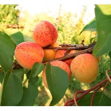 Саженцы абрикоса (10)