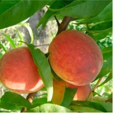 Саженцы персика (25)