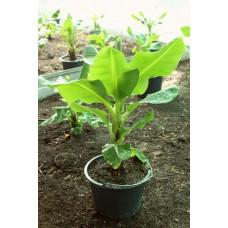 Саженец Банана (горшек 2л)